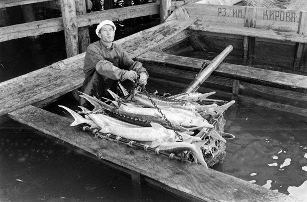 Осетров вынимают из лодки