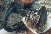 Руководство рыбака для рыбалки на Ахтубе и Волге: Дрейссена
