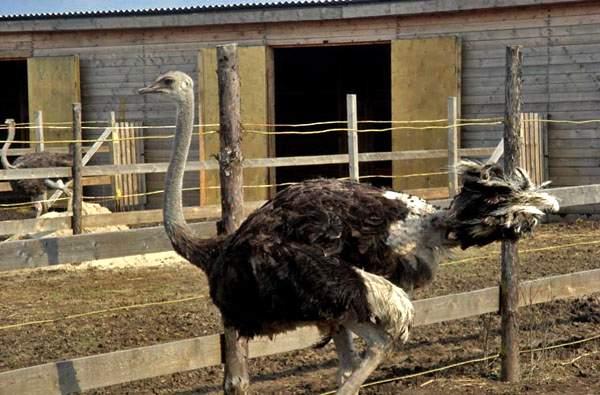 Страус, страусиная ферма «Баба Фрося»
