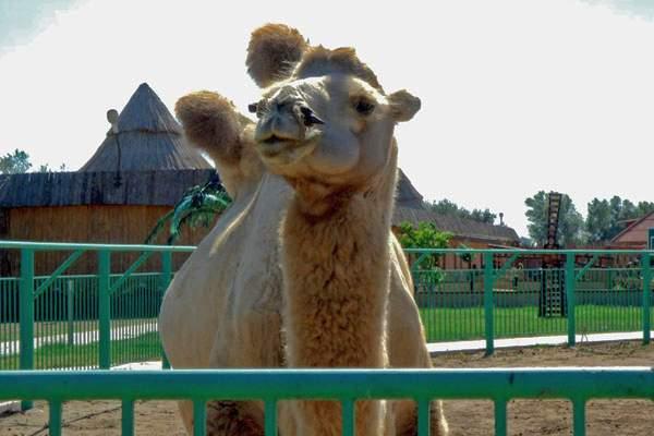 Верблюд, страусиная ферма «Баба Фрося»