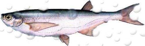 Рыбалка на чехонь, ее особенности